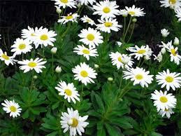 ハマギク:9月3日の誕生花
