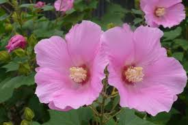 フヨウ:10月17日の誕生花