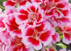 ゴデチア:5月23日の誕生花