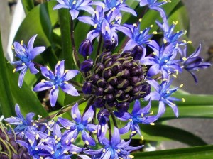 シラー:5月30日の誕生花