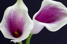 カラー:5月31日の誕生花