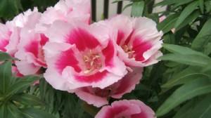 イロマツヨイグサ:6月4日の誕生花