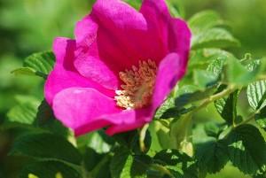 ハマナス:6月5日の誕生花