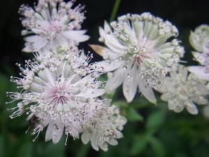 アストランチア:6月6日の誕生花