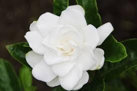 クチナシ:6月7日の誕生花